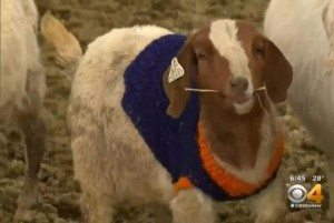Farmer-knits-Denver-Broncos-sweaters-for-150-baby-goats